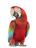 Green-winged Macaw, Ara chloropterus, 1 year old