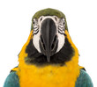 Front view close-up of a Blue-and-yellow Macaw, Ara ararauna