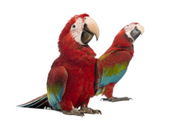 Two Green-winged Macaws, 1 year old