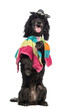 Poodle, 5 years old, standing on hind legs, wearing a poncho
