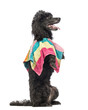 Side view of a Poodle, 5 years old, standing on hind legs