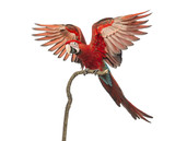 Green-winged Macaw, Ara chloropterus, 1 year old, perched