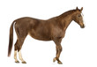 Side view of a Horse walking in front of white background