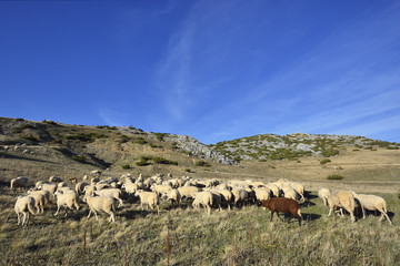 Sheep on the Bistra mountain in summer