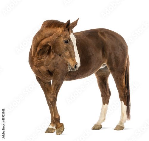 Horse looking back in front of white background