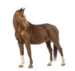 Side view of a Horse looking back in front of white background