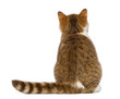 Rear view of British Shorthair kitten, 3.5 months old, sitting