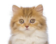 Close-up of a British Longhair kitten, 2 months old