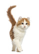 American Curl kitten, walking in front of white background