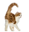 Rear view of an American Curl kitten, 3 months old
