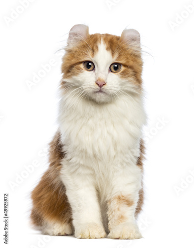 American Curl kitten, sitting and looking at the camera