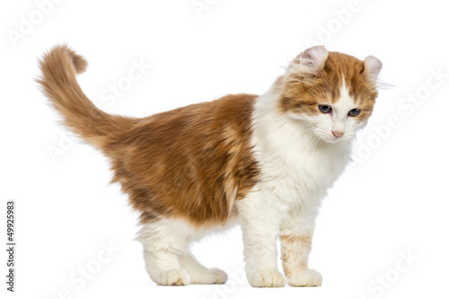 American Curl kitten, 3 months old, standing and looking down