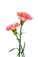 two carnation with clipping path