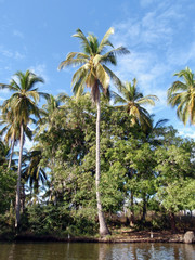 Coconut trees, and whites birds on the shore of River