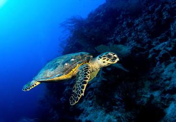 Hawksbill turtle in deep blue, Red Sea, Egypt.