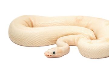 Snow Albino Ball Python (Python regius)