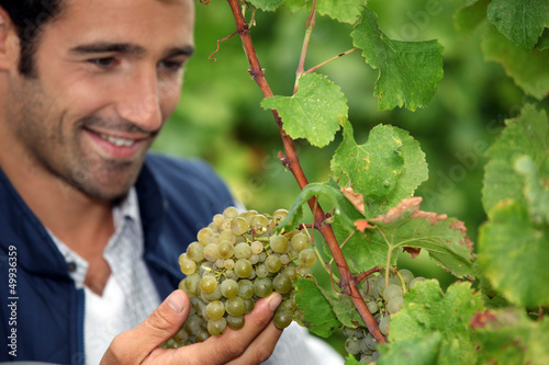 Grape grower admiring his grapes