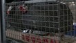guinea fowl in a cage