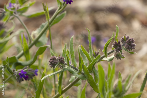 Common bugloss (Anchusa officinalis)