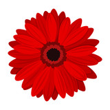 Red gerbera. Vector illustration.
