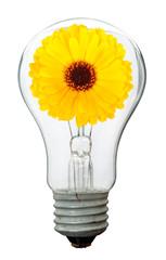 Calendula flower in lamp