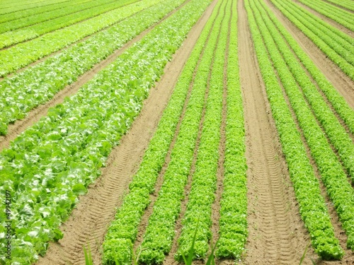 vertical rows of lettuce and fresh in a field of intensive culti