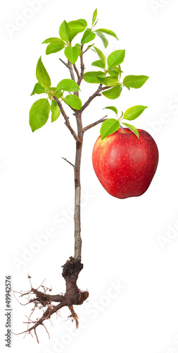 Apple tree with a root