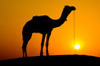 Silhouette camel at sunset. Jaisalmer, India.