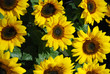 Sunflowers pattern