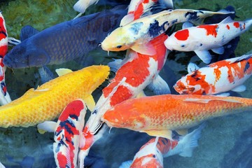 Japanese Koi in a Pond