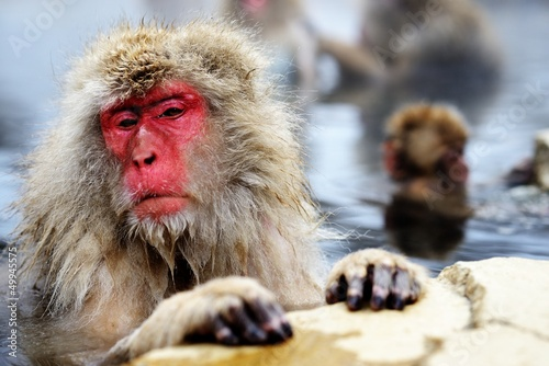 Japanese Snow Monkey