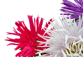 wet aster flowers blooms closeup isolated white