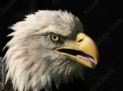 Portrait of An American Bald Eagle isolated on black