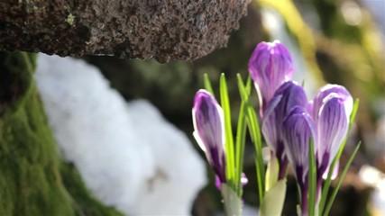 beautiful spring flowers-crocus,drops