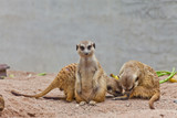 A group of meerkat