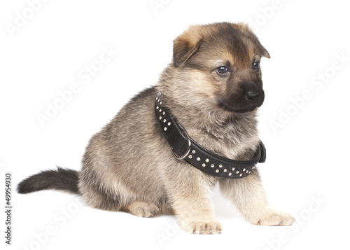 sheepdogs puppy with big black collar
