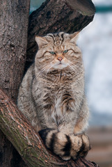 Wild cat Felis silvestris