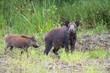 wild boar with cub