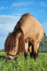 small horse eating grass