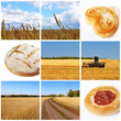 Harvest of wheat. Cereal concept