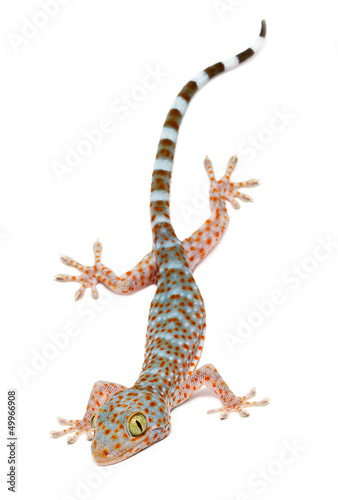 young gecko on white background.
