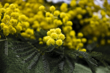 International Women's Day mimosa
