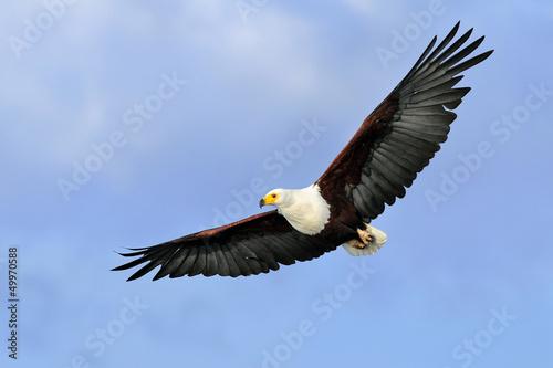 Fotobehang Eagle African fish eagle