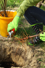 Planting - root pruning secateurs