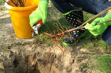 Planting - root pruning secateurs