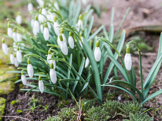 Closeup of snowdrops in a garden