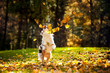 young Australian shepherd playing with leaves - 49978351