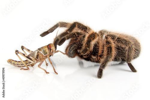 Vogelspinne und Heuschrecke