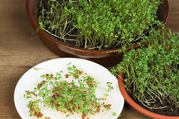 Garden cress, homemade cultivation
