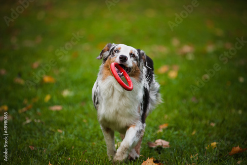 young merle Australian shepherd playing with toy